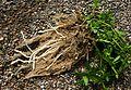Stachys palustris kz6.jpg