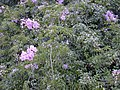 Starr-010425-0067-Podranea ricasoliana-flowering habit-Haiku-Maui (23904318634).jpg