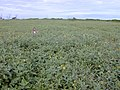 Starr-010520-0035-Verbesina encelioides-field with Kim-Central plain-Kure Atoll (23904541924).jpg