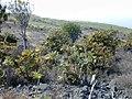 Starr-010714-0012-Bocconia frutescens-infestation-Auwahi-Maui (24424682532).jpg