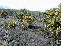 Starr-010714-0014-Bocconia frutescens-habit invading-Auwahi-Maui (24424684202).jpg
