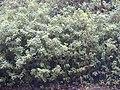 Starr-011205-0062-Tibouchina urvilleana-habit-Hwy11-Hawaii (24517655556).jpg