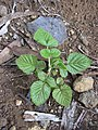 Starr-031114-0013-Rubus niveus-form a seedling-Kula-Maui (24675707345).jpg