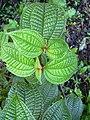 Starr-040209-0065-Clidemia hirta-leaves-Hana Hwy-Maui (24070170844).jpg