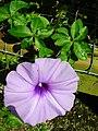 Starr-050303-4825-Ipomoea cairica-flower-Maui Nui Botanical Garden-Maui (24739804295).jpg