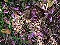 Starr-061109-1478-Bauhinia x blakeana-flowers on ground-Kokomo Rd Haiku-Maui (24573297100).jpg
