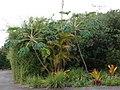 Starr-070621-7452-Tetrapanax papyrifer-habit-Kula Botanical Gardens Kula-Maui (24261697874).jpg