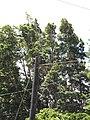 Starr-090609-0421-Lophostemon confertus-tall trees-Kokomo Haiku-Maui (24845473882).jpg