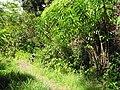 Starr-090702-2023-Costus speciosus-habit-Puaa Kaa Park Hana Hwy-Maui (24672831770).jpg