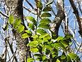 Starr-090714-2831-Swietenia macrophylla-leaves-Honokahau Valley-Maui (24874896731).jpg