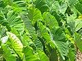 Starr-090720-3070-Colocasia esculenta-habit in loi-Waiehu-Maui (24876862251).jpg