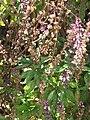 Starr-090721-3217-Ocimum basilicum var thyrsiflorum-leaves and flowers-Wailuku Heights-Maui (24970419265).jpg