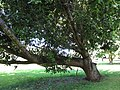 Starr-091104-9011-Calophyllum inophyllum-habit-Kahanu Gardens NTBG Kaeleku Hana-Maui (24692981470).jpg