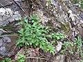 Starr-100430-5341-Erigeron karvinskianus-habit-Iao-Maui (24401704324).jpg