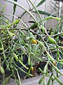 Starr-110218-1580-Hatiora salicornioides-flowering habit-Ulana St Makawao-Maui (24780934500).jpg