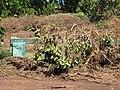 Starr-110312-3224-Thespesia populnea-after tsunami on barricade with restoration sign-Kanaha Beach-Maui (24986206281).jpg