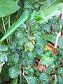 Starr-110330-3664-Polyscias guilfoylei-leaves-Garden of Eden Keanae-Maui (24712927439).jpg