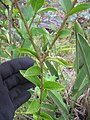 Starr-110609-6130-Ligustrum sp-leaves-Shibuya Farm Kula-Maui (25096784785).jpg