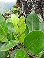 Starr-110722-7663-Polyscias oahuensis-leaves-Waihee Ridge Trail-Maui (24470776764).jpg