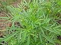 Starr-120608-7387-Tagetes minuta-leaves-Ulupalakua Ranch-Maui (24849761190).jpg
