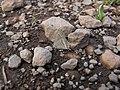 Starr-121031-0573-Ulex europaeus-habitat with bean butterfly Lampides boeticus mudding-Waikamoi Flume Rd-Maui (24827651189).jpg