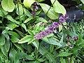 Starr-130319-3095-Ocimum basilicum var thyrsiflorum-flowering habit-Kilauea Pt NWR-Kauai (24581840503).jpg