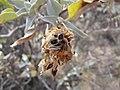 Starr-130422-4277-Encelia farinosa-seeds-Kahului-Maui (25092180342).jpg