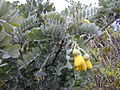 Starr 021003-0085 Sophora chrysophylla.jpg