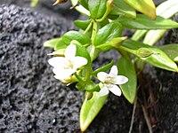 Starr 030729-0051 Lysimachia mauritiana