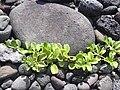 Starr 031127-0042 Jacquemontia ovalifolia subsp. sandwicensis.jpg