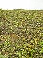 Starr 050519-1794 Solanum nelsonii.jpg