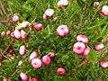 Starr 050816-3568 Leptecophylla tameiameiae.jpg