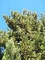 Starr 051224-5793 Pinus radiata.jpg