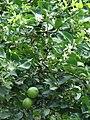 Starr 061105-1379 Citrus aurantiifolia.jpg