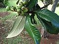 Starr 061231-3013 Eriobotrya japonica.jpg