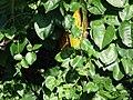 Starr 070403-6351 Anredera cordifolia.jpg