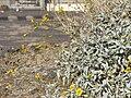 Starr 071224-0454 Encelia farinosa.jpg
