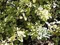 Starr 080219-2891 Helichrysum petiolare.jpg