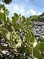 Starr 080603-5700 Solanum nelsonii.jpg