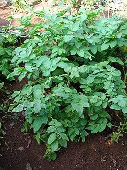 Starr 080914-9946 Solanum tuberosum.jpg
