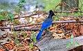 Steller's Jay, Big Sur, California (124255929).jpg