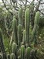 Stenocereus fimbriatus.jpg