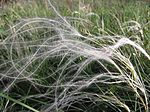 Stipa pennata flowering spikes.jpg