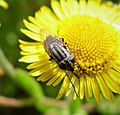 Stomorhina lunata, Locust Blowfly. Calliphoridae (36791318696).jpg