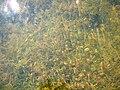 Stonewort meadow.jpg