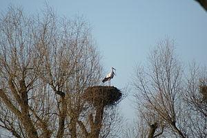 Walluf - Stork's nest in the Wallufer Bucht