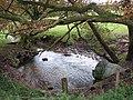 Stream traversing cattle pasture - geograph.org.uk - 1044162.jpg