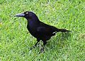 Strepera graculina, Pied Currawong, Sydney.jpg