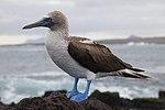 Sula nebouxii -Santa Cruz, Galapagos Islands, Ecuador-8 (1).jpg