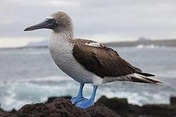 Un fou à pieds bleus, sur l'île de Santa Cruz, aux Galápagos